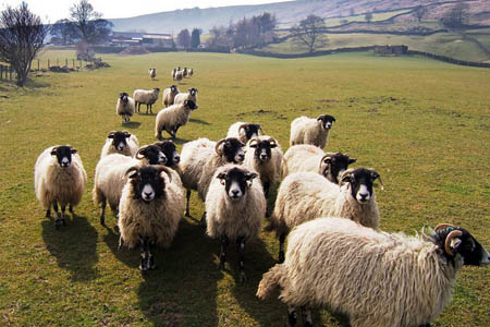 Sheep in the North York Moors national park