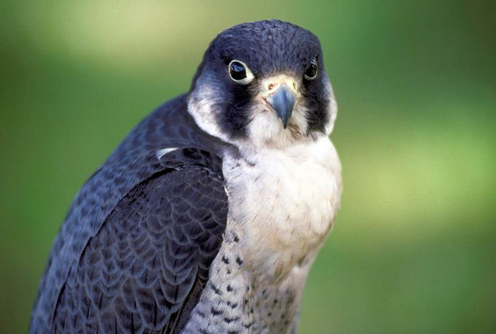 A peregrine falcon, one of the cliff-nesting species at risk. Photo: Scottish Natural Heritage