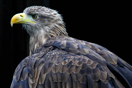 A white-tailed eagle. Photo: Stefan Willoughby CC-BY-2.0